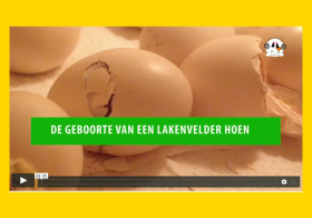 Unieke video van de geboorte van een Lakenvelder hoen